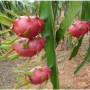 RED-DRAGON-FRUIT-JUICE-PUREE-Pitahaya-fructul-dragonului-pitaya2