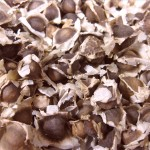 moringa-oleifera-seminte